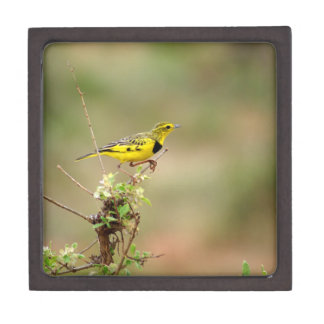 "Golden pipit, Kenya, Photo 3"" x 3"" Gift Box"