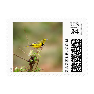 Golden pipit, Kenya, Photo Small Postage