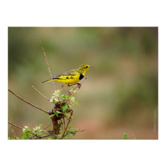 """Golden pipit, Kenya, up to 24"""" x 18"""" Photo Poster"""