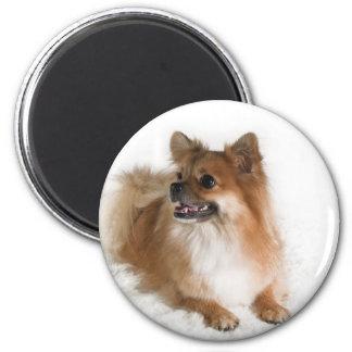 Golden Pomeranian on Fluffy White Blanket Fridge Magnet
