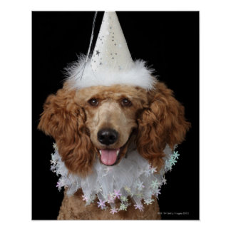 Golden Poodle Dog wearing a white clown costume Posters