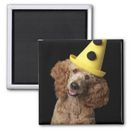 Golden Poodle Dog wearing a yellow clown hat Magnet