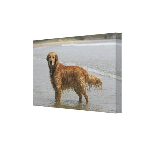 Golden Retreiver in the Sea Canvas Print