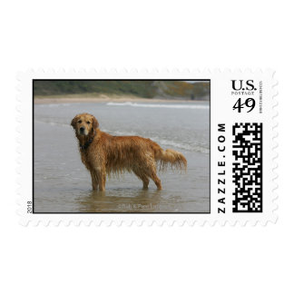 Golden Retreiver in the Sea Stamp