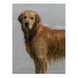 Golden Retreiver in the Sea Postcard