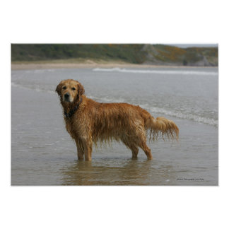 Golden Retreiver in the Sea Poster