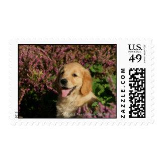 Golden Retreiver Puppy Postage Stamp