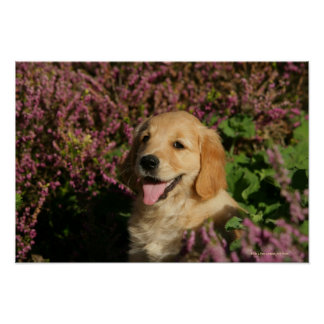 Golden Retreiver Puppy Poster