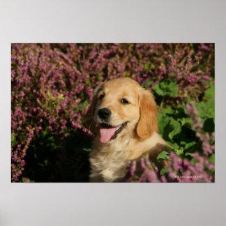 Golden Retreiver Puppy Poster