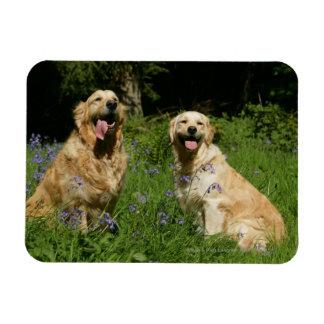 Golden Retreivers in Grass Magnet