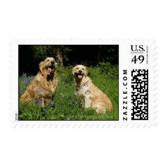 Golden Retreivers in Grass Postage