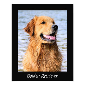 Golden Retriever Black Border Photo Print