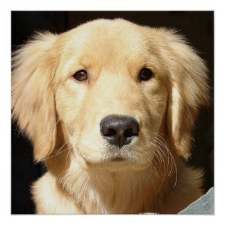 Golden Retriever Closeup Poster