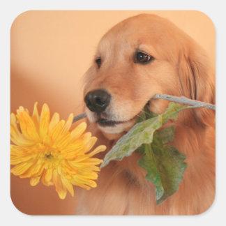 Golden retriever con los pegatinas de la flor pegatina cuadrada