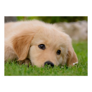 Golden Retriever Cute Puppy Dreaming, Pet Photo Poster