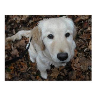 Golden Retriever Dog - The Colours Of Fall Postcard