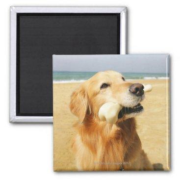 Beach Themed Golden Retriever eating bone Magnet