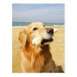 Golden Retriever eating bone Postcard
