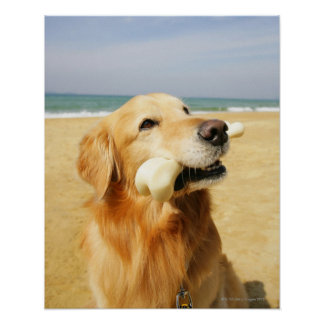 Golden Retriever eating bone Poster