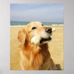 Golden Retriever eating bone Print