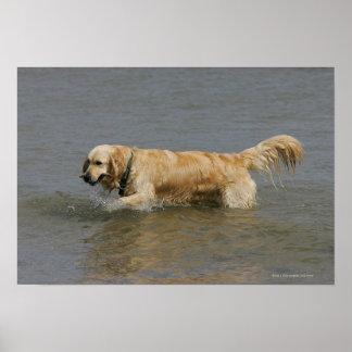 Golden retriever en agua impresiones