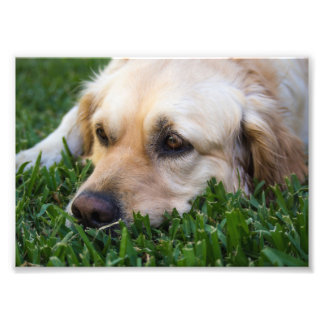 Golden retriever en la foto de la hierba cojinete