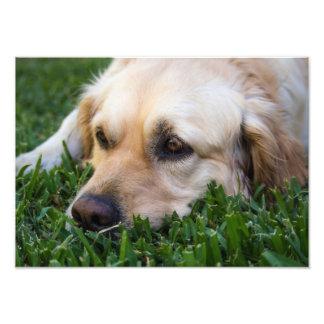 Golden retriever en la foto de la hierba fotografías
