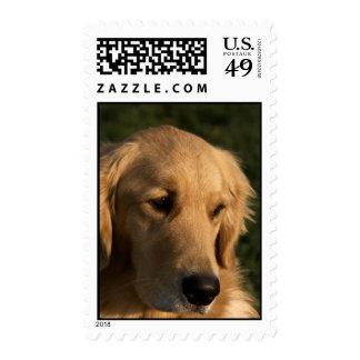 Golden Retriever Head Shot Stamps