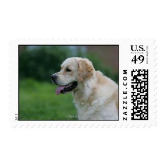 Golden Retriever Headshot 2 2 Postage
