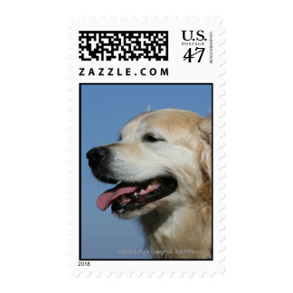 Golden Retriever Headshot 4 Postage