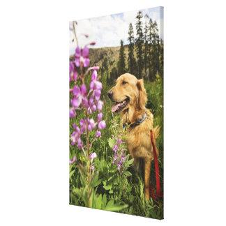 Golden retriever in field canvas print