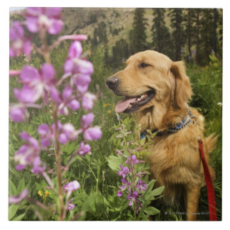 Golden retriever in field large square tile