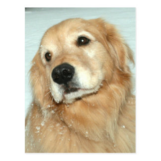 Golden Retriever in the Snow Dreaming of Spring Postcard