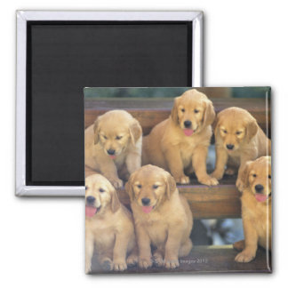 Golden Retriever; is a relatively modern and 2 Inch Square Magnet