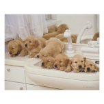 Golden Retriever; is a relatively modern and 2 Poster