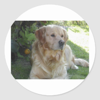 Golden retriever laying 2.png round stickers