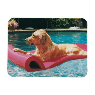 Golden Retriever Lying on an Air Bed in a Magnet
