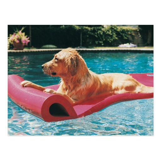 Golden Retriever Lying on an Air Bed in a Post Card