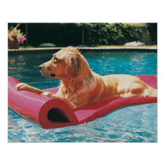 Golden Retriever Lying on an Air Bed in a Poster