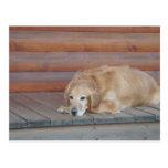 Golden Retriever - Montana Postcard