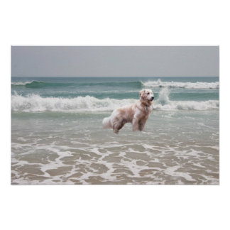 Golden Retriever Ocean Poster