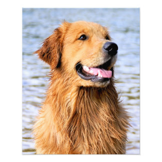 Golden Retriever Photo Print