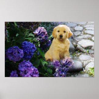 Golden Retriever Poster Hydrangea