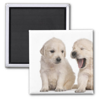 Golden Retriever puppies (4 weeks old) 2 Inch Square Magnet