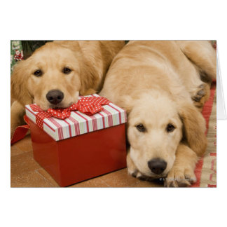 Golden retriever puppies with christmas gift card