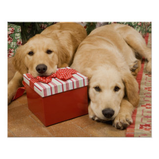 Golden retriever puppies with christmas gift poster
