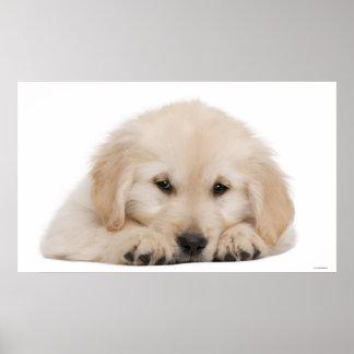 Golden retriever puppy 2 poster