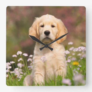 Golden Retriever puppy a cute Goldie Square Wall Clock