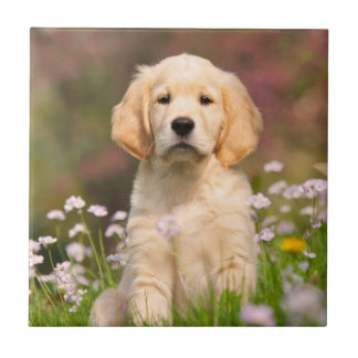Golden Retriever puppy a cute Goldie Ceramic Tiles