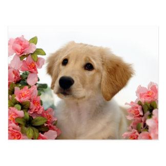 Golden Retriever Puppy and Pink Flowers Postcards